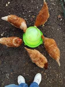 Les poules de l'école